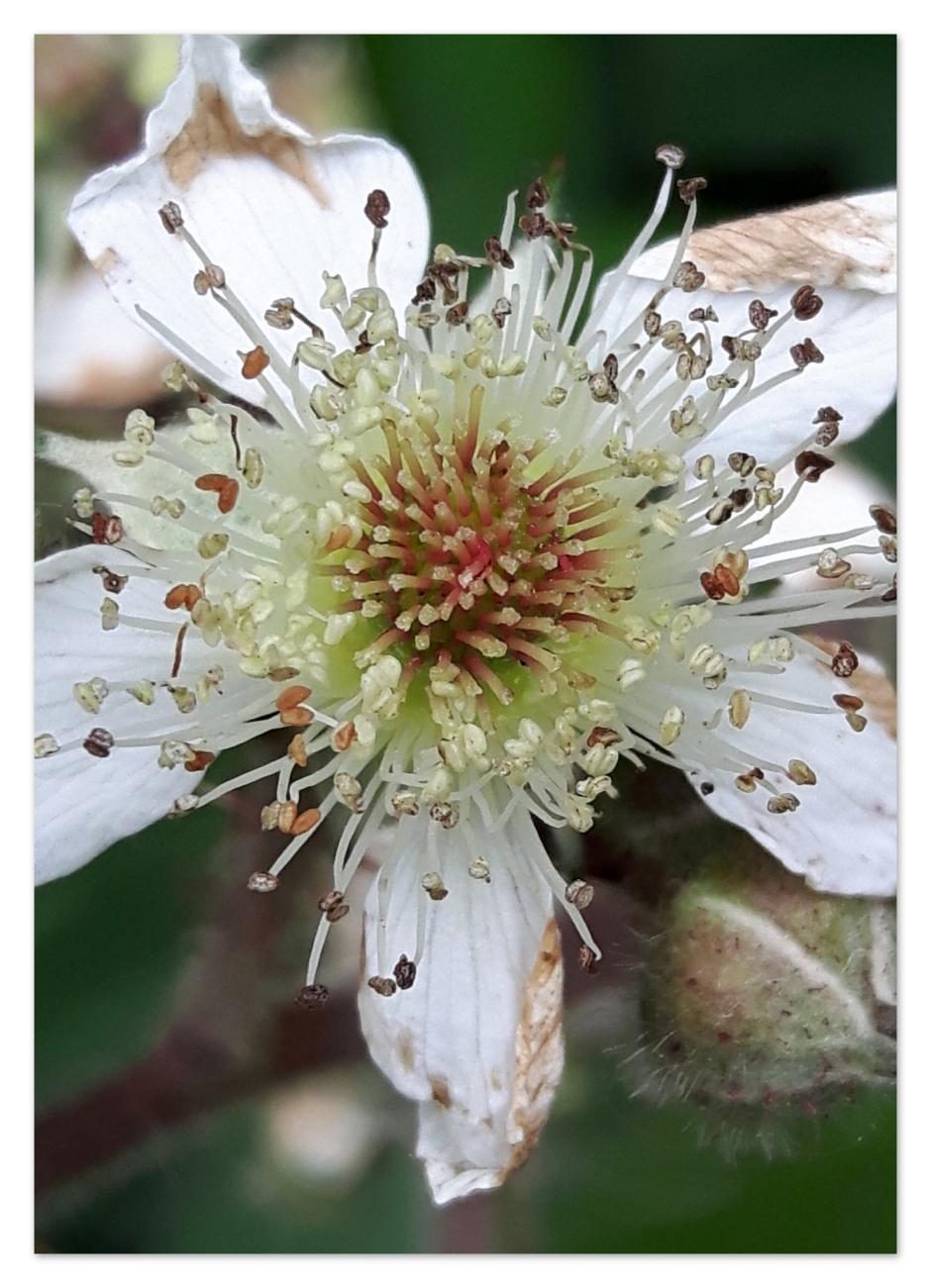 fleur fifane